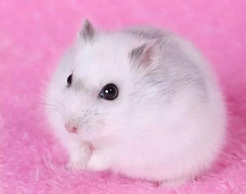 хомяк джунгарский белый фото