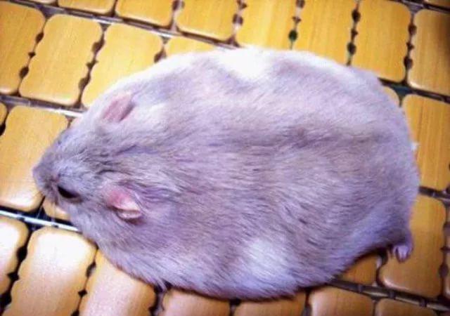 Хомяк с ожирением