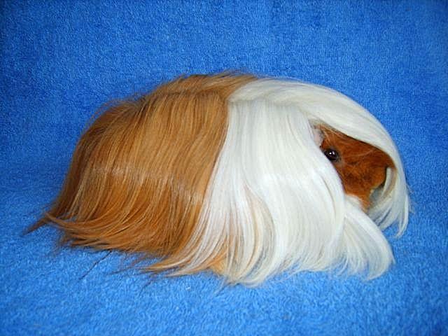 Волосатая порода морских свинок