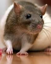 питание крыс